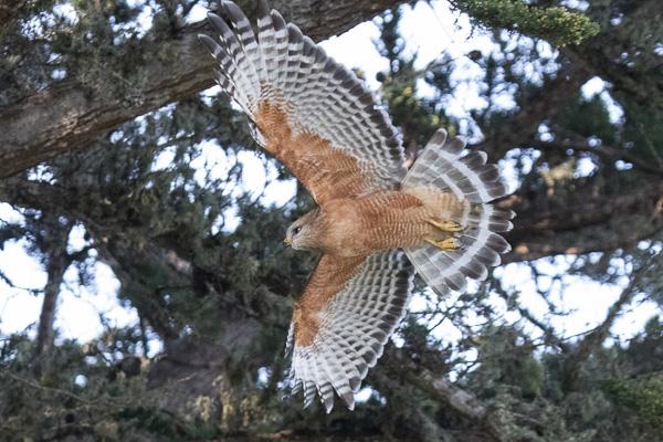 Red-shouldered hawk, Photo by Elaine Miller Bond