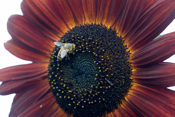 Honeybee with sunflower. Location: Heather Farm Park, Walnut Creek, CA. Photo by Elaine Miller Bond